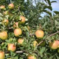 Apple-tree Sinap of almaatinskiya.