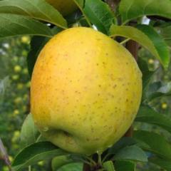 Apple-tree Gold Rush.