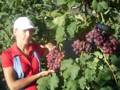 Саженцы винограда универсальных сортов