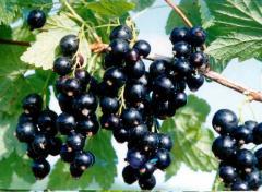 Ягоди чорної смородини
