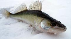 Pike perch average fresh-frozen