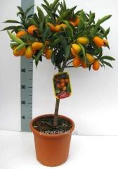 Citr Calamo tangerine