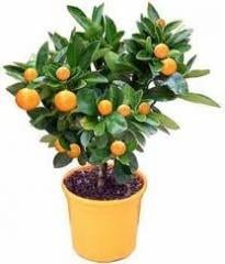 Tangerine room bush
