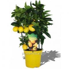 Citrus Limonella lemon