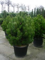 Compact Gem pine