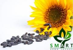 RW Impex from Ukraine exports Sunflower seeds