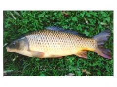 Fresh commodity carp export.