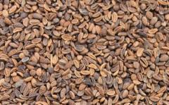 Fatseliya seeds, melliferous herb and siderat - a