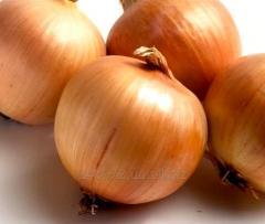 Onions grade Globe
