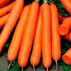 Carrots Maestro's Grade