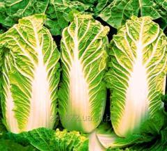 Cabbage Beijing Bilko's grade