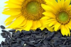 Seeds of sunflower of Dobryan