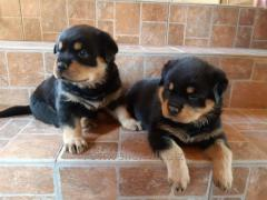 Puppies of Rottweilers