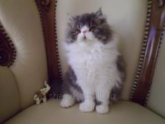 Cat the Persian extreme type, blue bicolor, free