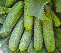 Огурцы 3,4 сорт (для соления)