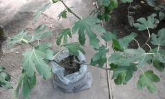 The fructifying inzhirovy tree. Plant, 100-130 cm