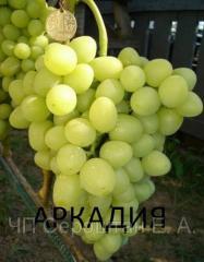 Grapes Arkady (Berdyansk), grapes saplings,