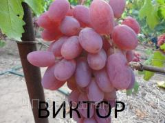 Grapes Victor (Berdyansk) to buy grapes saplings,