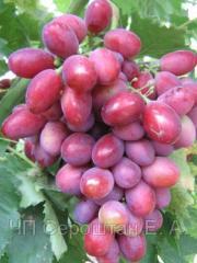 Виноград Дунав (Бердянск), саженцы винограда,