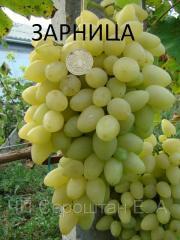 Виноград Зарница (Бердянск), саженцы винограда,