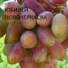 Anniversary of Novocherkassk (Berdyansk), grapes