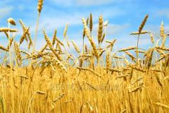 Пшениця озима-сорт  ФІДЕЛІУС (SAATBAU-1а