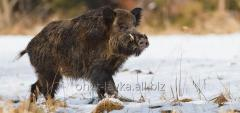 Carcass of a wild boar