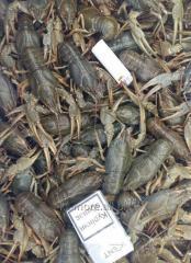Crayfish live