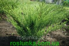 JUNIPER COSSACK TAMARISTSIFOLIYA