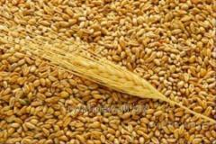 RW Impex from Ukraine exports Food wheat and