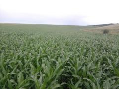 Пшениця Тверда 10 тонн
