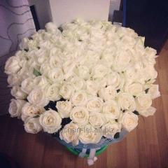 Rose white
