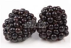 Blackberry wild-growing frozen