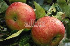 Apples fresh and frozen from the producer and