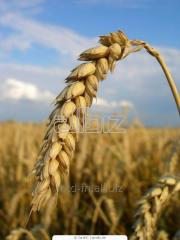 Seeds of winter wheat Lira Odesskaya