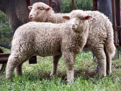 Овцы, породы овец, продажа овец, овцы от
