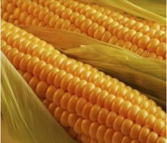 Seeds of corn of NANOSECOND 101