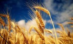 Bogdana winter wheat. Elite. Institute of