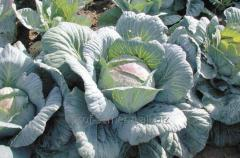 Cabbage grade Amager