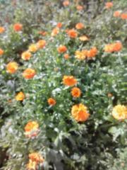 Квіти календули, Календула лекарственная