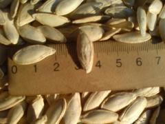 Pumpkin Seeds From Ukraine