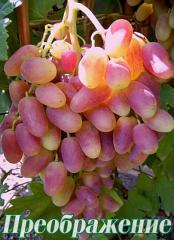 Saplings of elite grades of grapes