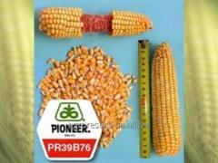 Corn hybrid Pioneer of Pioneer P9400/P9400 of FAO