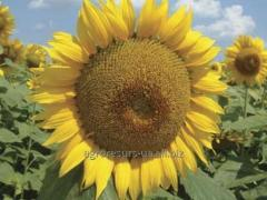 Seeds of Limagrain LG56.35 of sunflower of