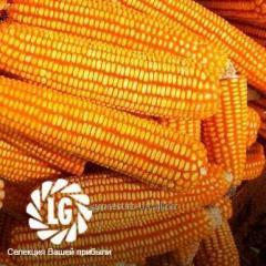Семена среднераннего гибрида кукурузы ЛГ 30.288