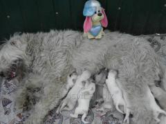 Puppies of the South Russian sheep-dog