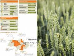 Seeds of the KUBUS winter wheat producer KWS