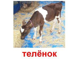 Покупаю Крупный рогатый скот
