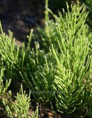 Horsetail field grass
