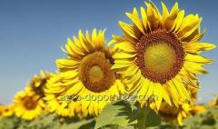 Семена подсолнечника Гибрид Айдар (посевной материал)